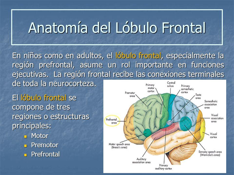 El lóbulo frontal se compone de tres regiones o estructuras principales: Motor Motor Premotor Premotor Prefrontal Prefrontal En niños como en adultos,