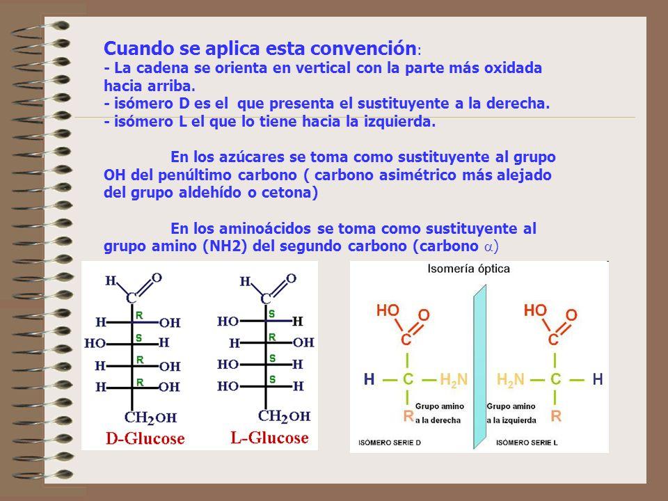Cuando se aplica esta convención : - La cadena se orienta en vertical con la parte más oxidada hacia arriba. - isómero D es el que presenta el sustitu