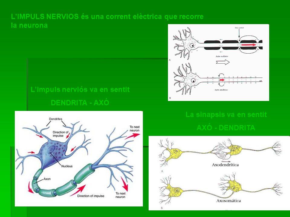 Limpuls nerviós va en sentit DENDRITA - AXÓ La sinapsis va en sentit AXÓ - DENDRITA LIMPULS NERVIOS és una corrent elèctrica que recorre la neurona