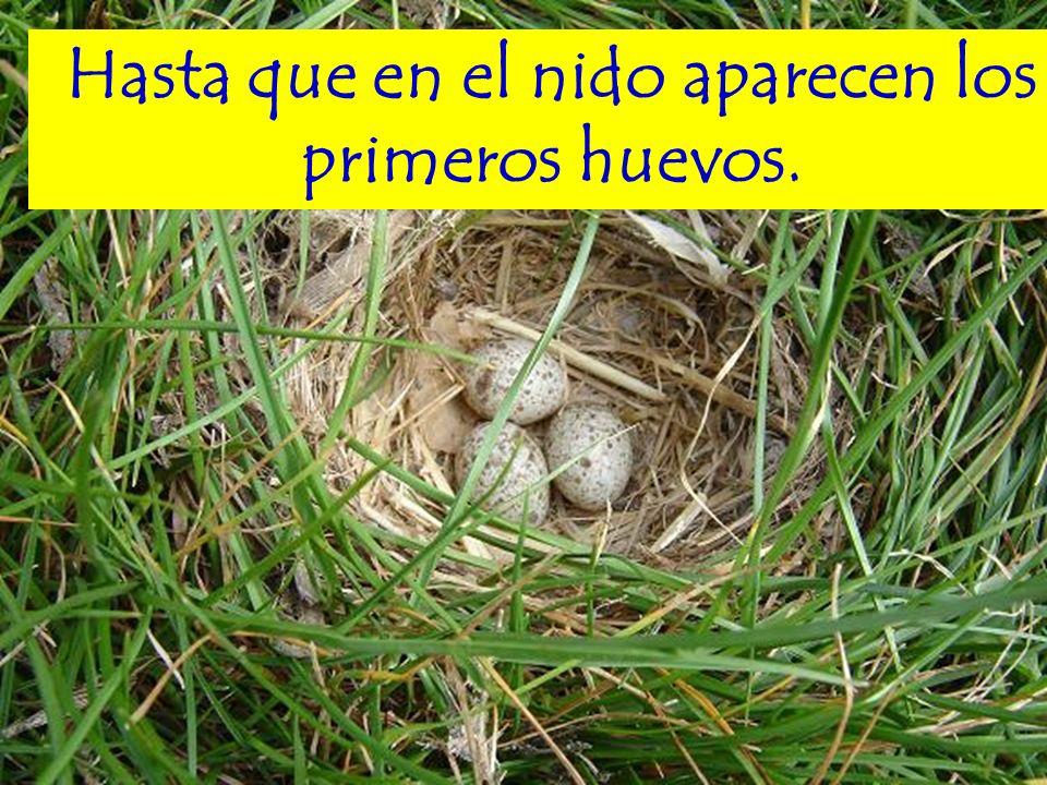 Hasta que en el nido aparecen los primeros huevos.