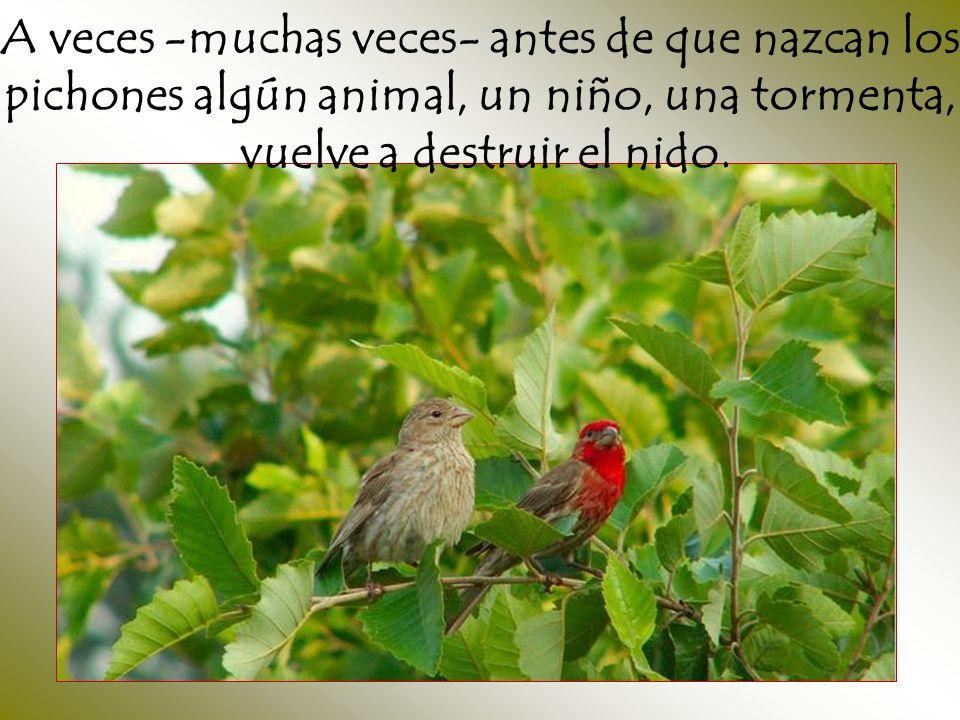 A veces -muchas veces- antes de que nazcan los pichones algún animal, un niño, una tormenta, vuelve a destruir el nido.