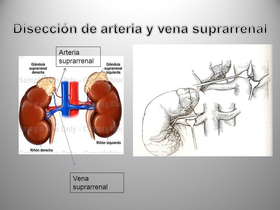 Arteria suprarrenal Vena suprarrenal