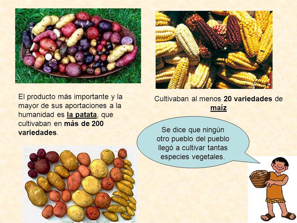 El producto más importante y la mayor de sus aportaciones a la humanidad es la patata, que cultivaban en más de 200 variedades. Cultivaban al menos 20