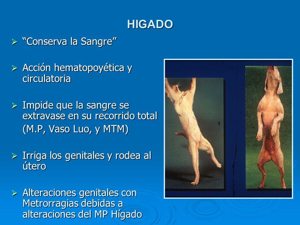 HIGADO Conserva la Sangre Conserva la Sangre Acción hematopoyética y circulatoria Acción hematopoyética y circulatoria Impide que la sangre se extrava