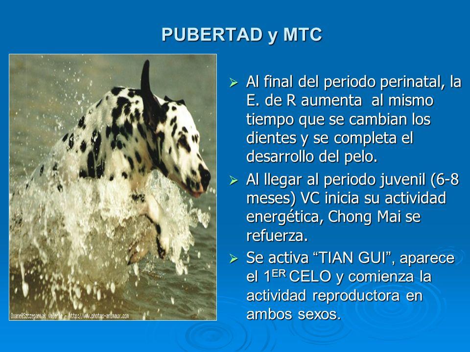 PUBERTAD y MTC Al final del periodo perinatal, la E. de R aumenta al mismo tiempo que se cambian los dientes y se completa el desarrollo del pelo. Al