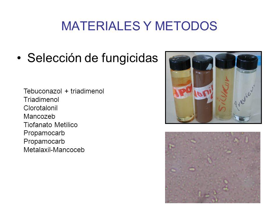 RESULTADOS Y DISCUSION # panojas con Ergot Fungicidas 0 horas24 horas48 horas Clorotalonil0.50 C (10%) 1.25 BC (25%) 2.00 BC (40%) Tebuconazol + triadimenol:0.50 C (10%) 0.50 C (10%) 1.50 BC (30%) Triadimenol 0.00 C Cuadro 5.