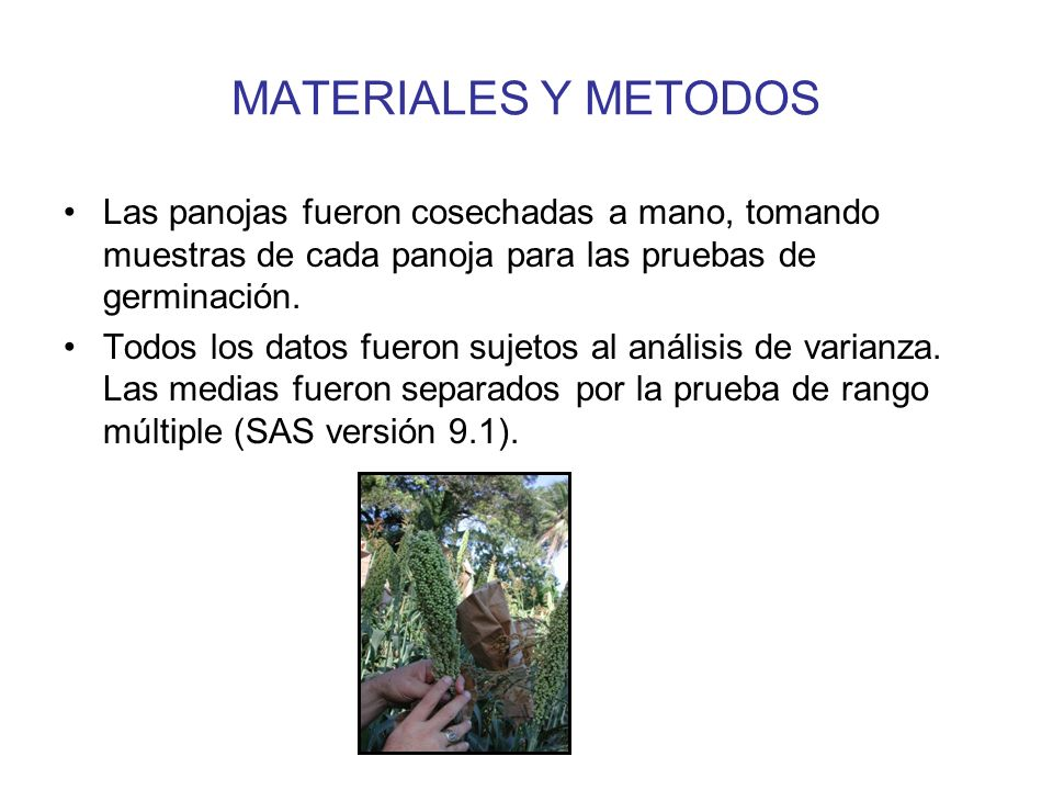 MATERIALES Y METODOS Las panojas fueron cosechadas a mano, tomando muestras de cada panoja para las pruebas de germinación.