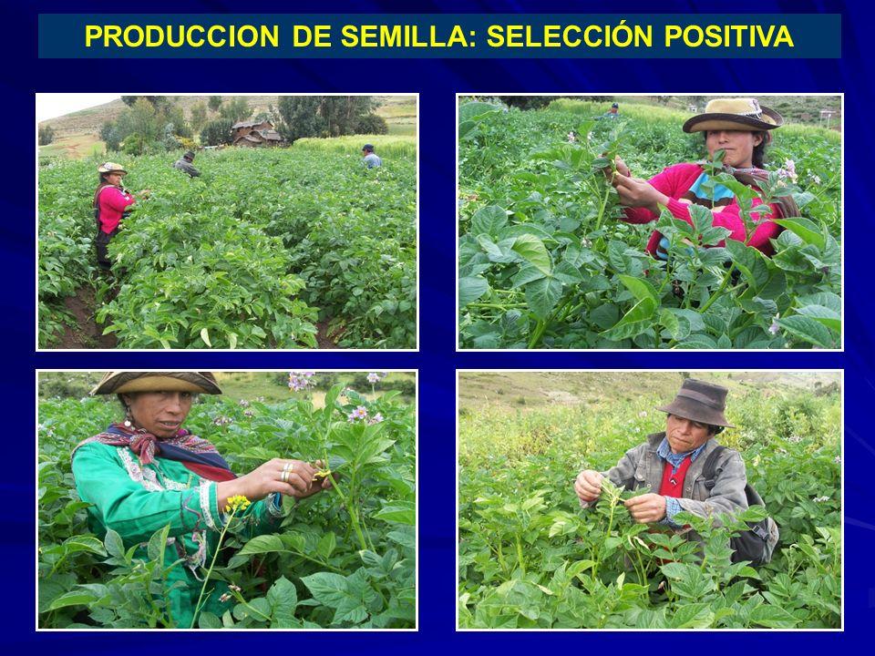 PRODUCCION DE SEMILLA: SELECCIÓN POSITIVA