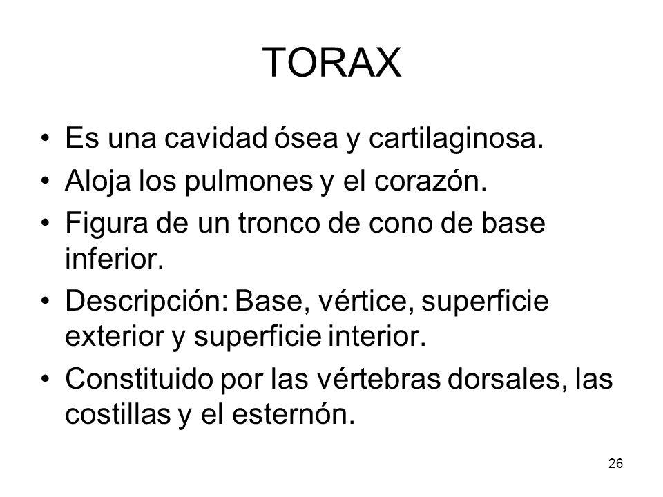 26 TORAX Es una cavidad ósea y cartilaginosa. Aloja los pulmones y el corazón. Figura de un tronco de cono de base inferior. Descripción: Base, vértic