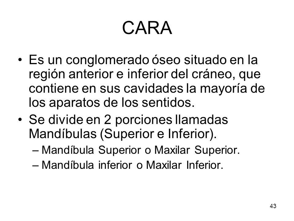 43 CARA Es un conglomerado óseo situado en la región anterior e inferior del cráneo, que contiene en sus cavidades la mayoría de los aparatos de los s