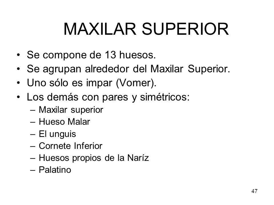 47 MAXILAR SUPERIOR Se compone de 13 huesos. Se agrupan alrededor del Maxilar Superior. Uno sólo es impar (Vomer). Los demás con pares y simétricos: –