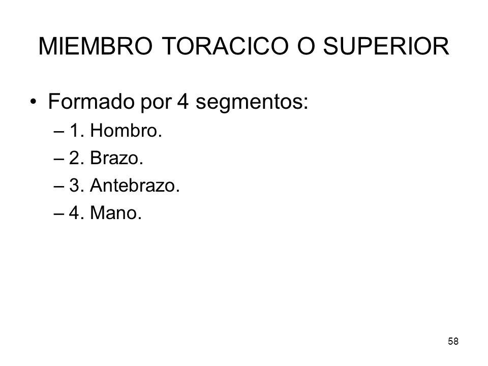 58 MIEMBRO TORACICO O SUPERIOR Formado por 4 segmentos: –1. Hombro. –2. Brazo. –3. Antebrazo. –4. Mano.
