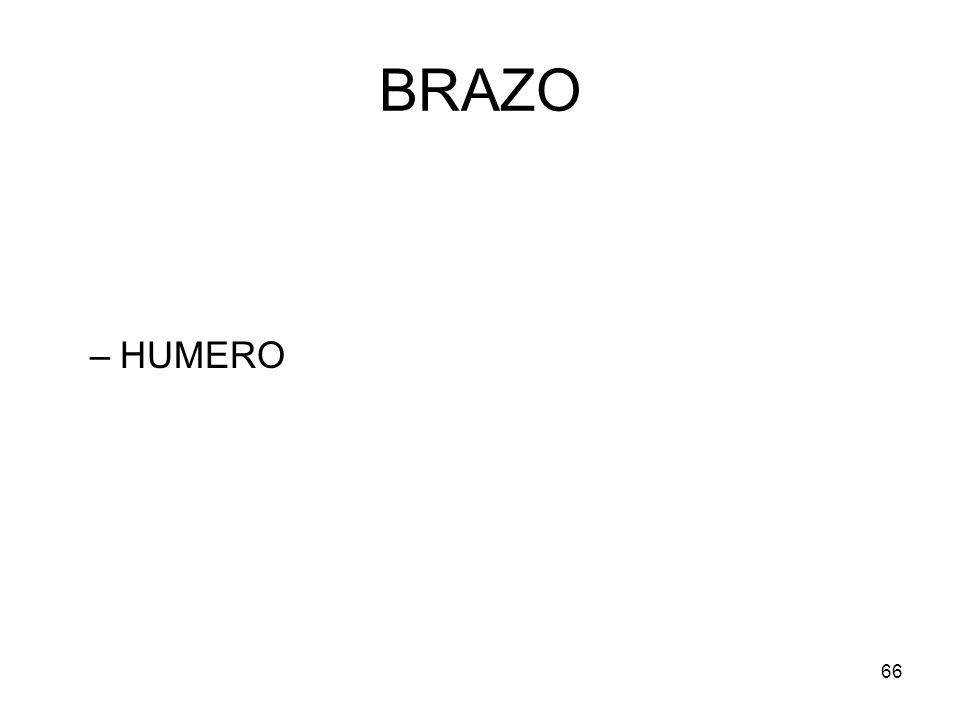 66 BRAZO –HUMERO