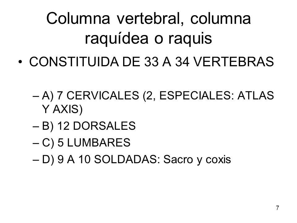 7 Columna vertebral, columna raquídea o raquis CONSTITUIDA DE 33 A 34 VERTEBRAS –A) 7 CERVICALES (2, ESPECIALES: ATLAS Y AXIS) –B) 12 DORSALES –C) 5 L