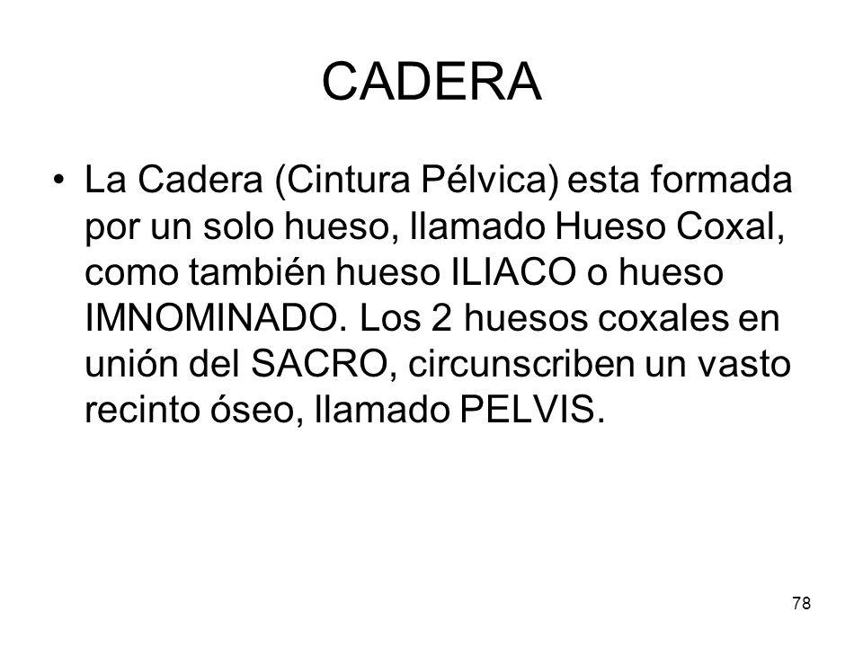 78 CADERA La Cadera (Cintura Pélvica) esta formada por un solo hueso, llamado Hueso Coxal, como también hueso ILIACO o hueso IMNOMINADO. Los 2 huesos