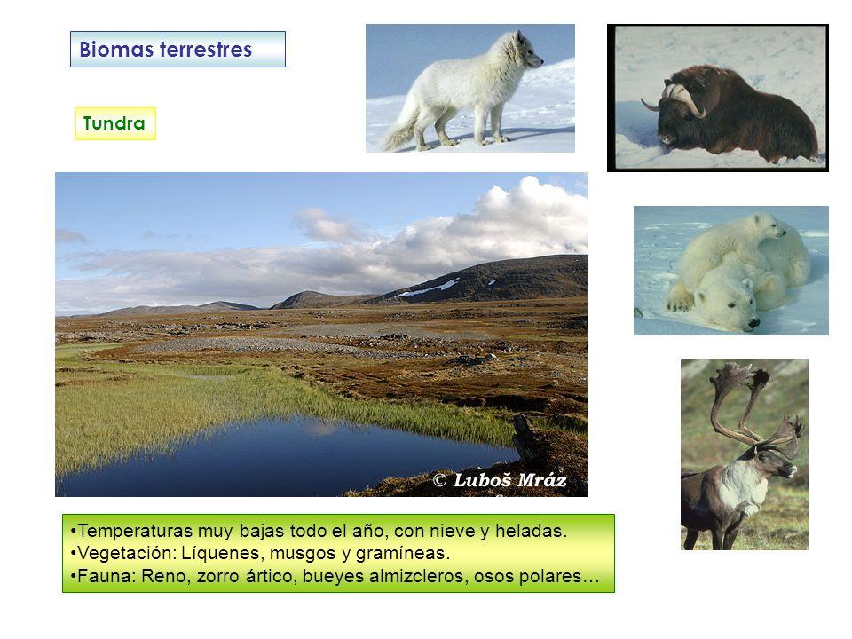 Biomas terrestres Tundra