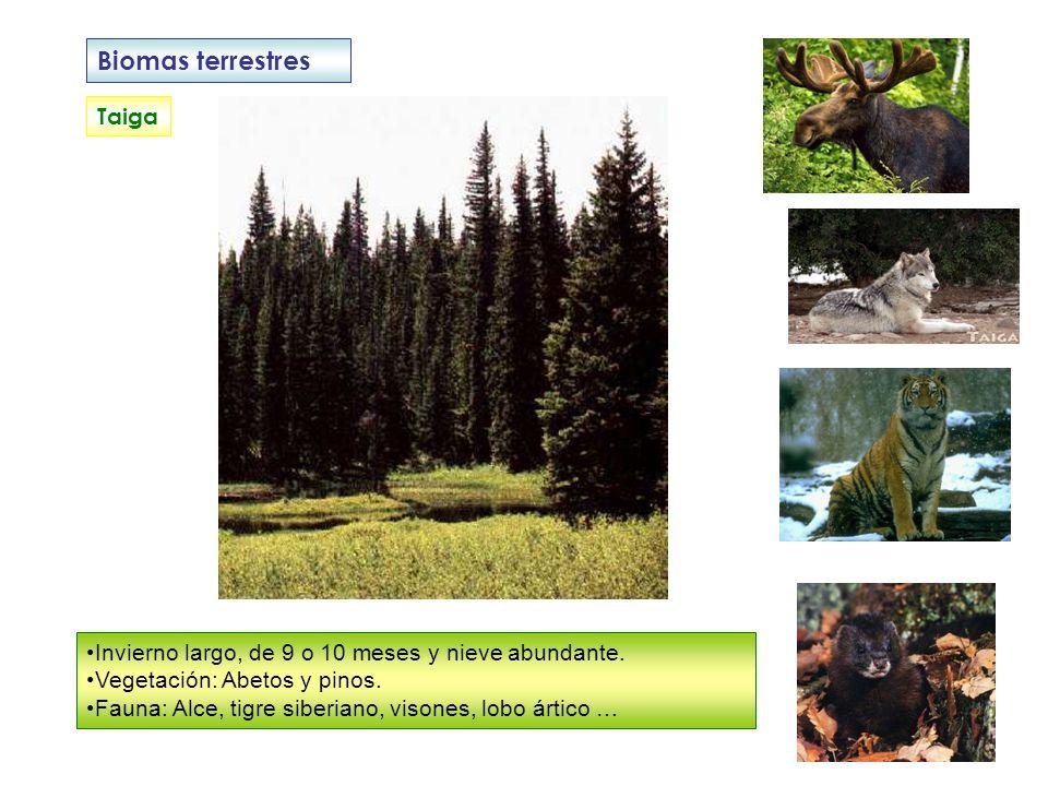 Biomas terrestres Taiga Invierno largo, de 9 o 10 meses y nieve abundante. Vegetación: Abetos y pinos. Fauna: Alce, tigre siberiano, visones, lobo árt