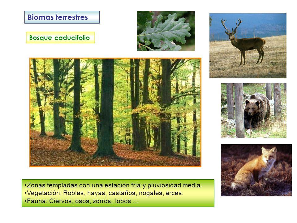 Biomas terrestres Bosque caducifolio Zonas templadas con una estación fría y pluviosidad media. Vegetación: Robles, hayas, castaños, nogales, arces. F