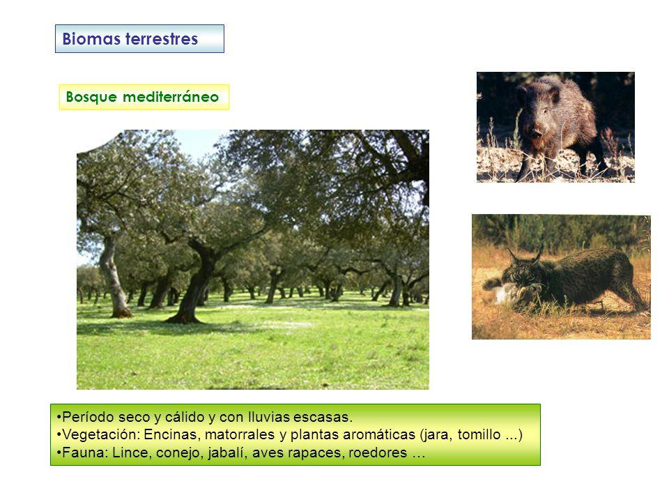 Biomas terrestres Bosque mediterráneo Período seco y cálido y con lluvias escasas. Vegetación: Encinas, matorrales y plantas aromáticas (jara, tomillo