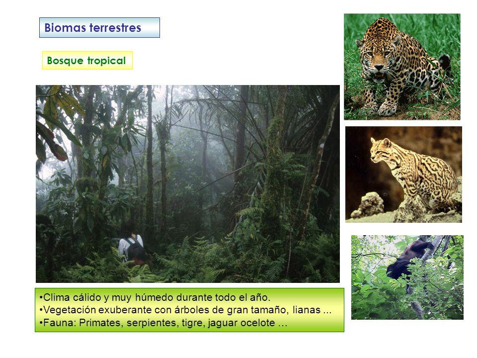 Biomas terrestres Bosque tropical Clima cálido y muy húmedo durante todo el año. Vegetación exuberante con árboles de gran tamaño, lianas... Fauna: Pr