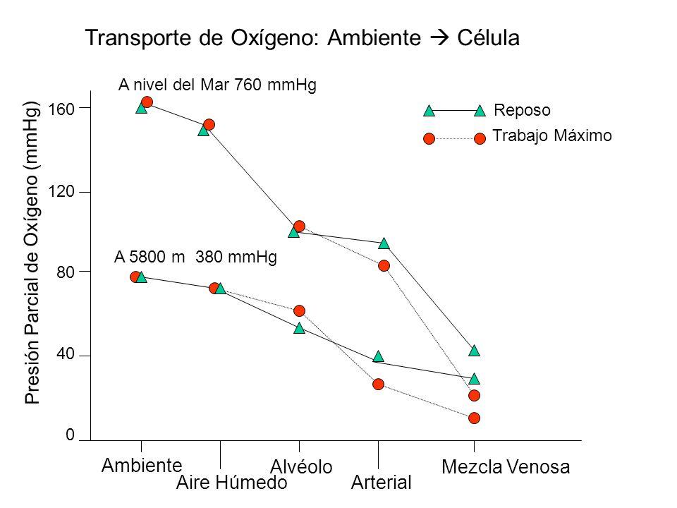 Transporte de Oxígeno: Ambiente Célula 160 120 80 40 0 Ambiente Aire Húmedo Alvéolo Arterial Mezcla Venosa Presión Parcial de Oxígeno (mmHg) Reposo Tr