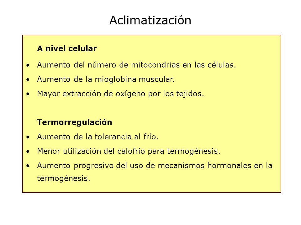 Aclimatización A nivel celular Aumento del número de mitocondrias en las células. Aumento de la mioglobina muscular. Mayor extracción de oxígeno por l