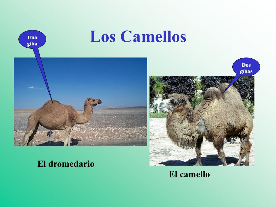 Los Camelidaes WHAT IS A VICUÑA.