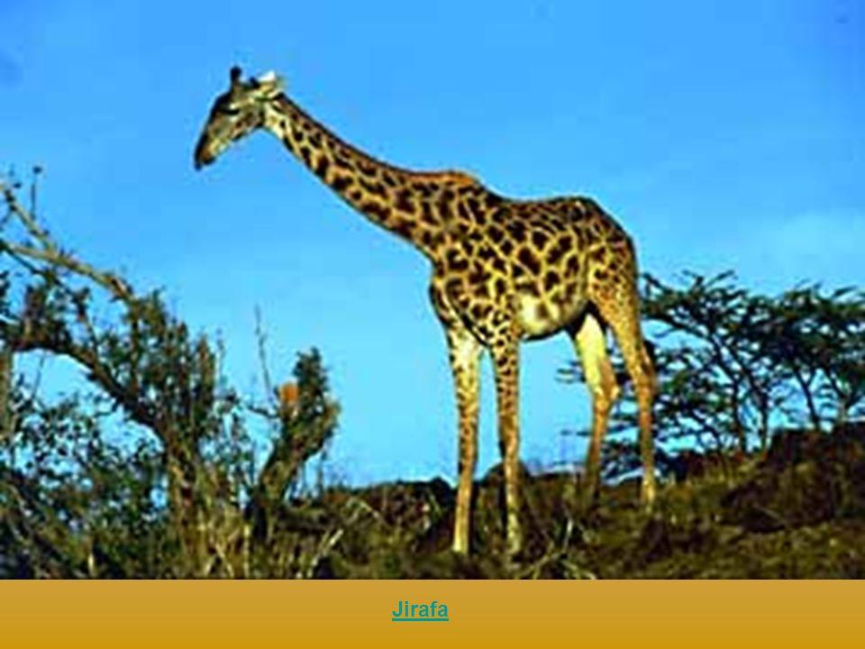 Twigs, la jirafa Jumpshot Slamdunk