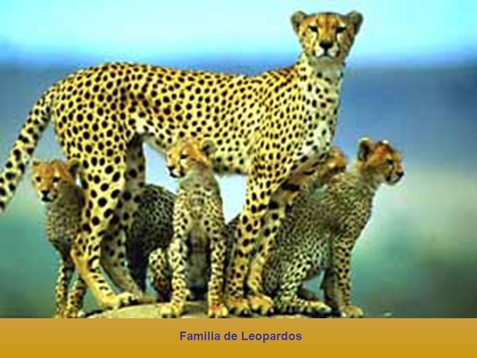 Familia de Leopardos