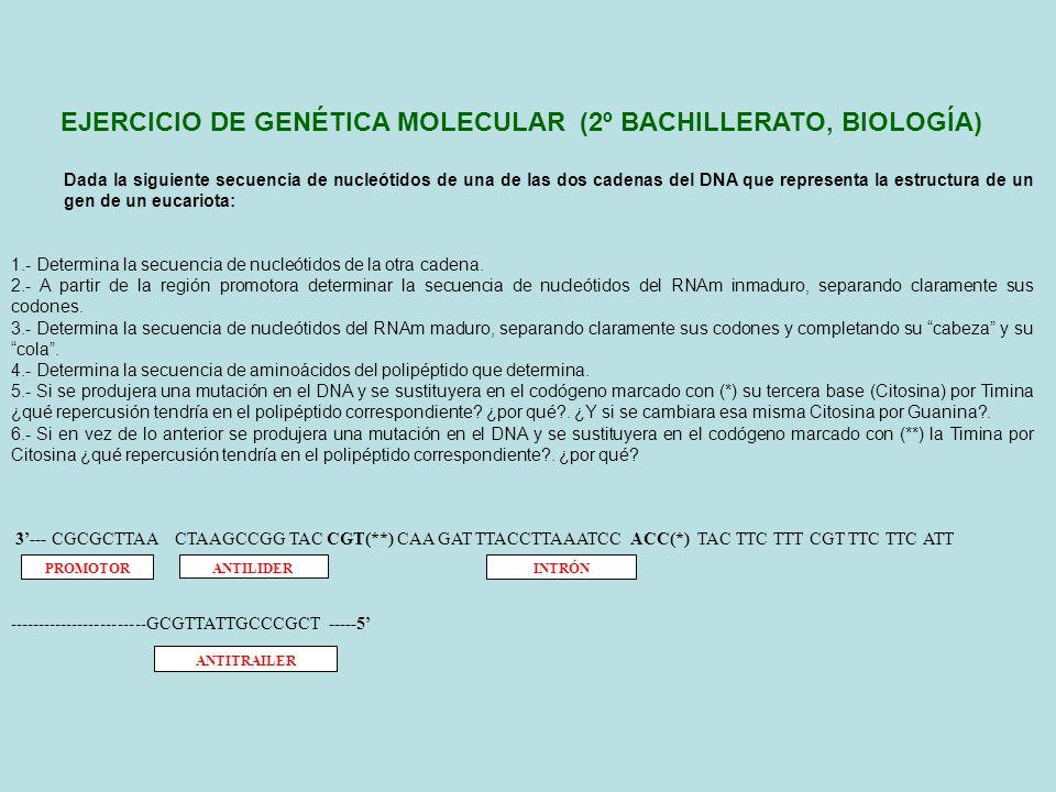 3--- CGCGCTTAA CTAAGCCGG TAC CGT(**) CAA GAT TTACCTTAAATCC ACC(*) TAC TTC TTT CGT TTC TTC ATT ----------------------GCGTTATTGCCCGCT ----- 5 (1) Determinación de la secuencia de nucleótidos de la otra cadena 5--- GCGCGAATT GATTCGGCCATG GCA GTT CTA AATGGAATTTAGG TGG ATGAAGAAA GCAAAGAAGTAA ----------------------CGCAATAACGGGCGA----- 3 (2) Determinación de la secuencia de nucleótidos del RNAm inmaduro 5----------------- GAUUCGGCCAUG GCA GUU CUA AAUGGAAUUUAGG UGG AUGAAGAAA GCAAAGAAGUAA --------------------CGCAAUAACGGGCGA---- 3 SOLUCIÓN AL EJERCICIO DE GENÉTICA MOLECULAR 3--- CGCGCTTAA CTAAGCCGG TAC CGT(**) CAA GAT TTACCTTAAATCC ACC(*) TAC TTC TTT CGT TTC TTC ATT ----------------------GCGTTATTGCCCGCT ----- 5