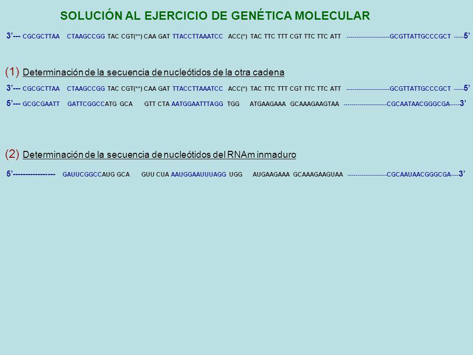 SOLUCIÓN AL EJERCICIO DE GENÉTICA MOLECULAR 5 P-P-P-G(CH3)---- GAUUCGGCCAUG GCA GUU CUA UGG AUGAAGAAA GCAAAGAAGUAA --------------------CGCAAUAACGGGCGA---AAAAA….AA (200) 3 (4) Determinación del polipéptido que codifica el RNA maduro NH2 – Met – Ala – Val – Leu – Trp – Met – Lis – Lis – Ala – Lis – Lis – COOH 3--- CGCGCTTAA CTAAGCCGG TAC CGT(**) CAA GAT TTACCTTAAATCC ACC(*) TAC TTC TTT CGT TTC TTC ATT ----------------------GCGTTATTGCCCGCT ----- 5 5--- GCGCGAATT GATTCGGCCATG GCA GTT CTA AATGGAATTTAGG TGG ATGAAGAAA GCAAAGAAGTAA ----------------------CGCAATAACGGGCGA----- 3 (3) Determinación del RNAm maduro 5----------------- GAUUCGGCCAUG GCA GUU CUA AAUGGAAUUUAGG UGG AUGAAGAAA GCAAAGAAGUAA --------------------CGCAAUAACGGGCGA---- 3