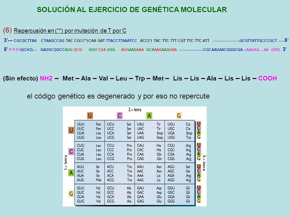 RESUMEN SOLUCIÓN AL EJERCICIO DE GENÉTICA MOLECULAR 3--- CGCGCTTAA CTAAGCCGG TAC CGT(**) CAA GAT TTACCTTAAATCC ACC(*) TAC TTC TTT CGT TTC TTC ATT ----------------------GCGTTATTGCCCGCT ----- 5 (1) Determinación de la secuencia de nucleótidos de la otra cadena 5--- GCGCGAATT GATTCGGCCATG GCA GTT CTA AATGGAATTTAGG TGG ATGAAGAAA GCAAAGAAGTAA ----------------------CGCAATAACGGGCGA----- 3 (2) Determinación de la secuencia de nucleótidos del RNAm inmaduro 5----------------- GAUUCGGCCAUG GCA GUU CUA AAUGGAAUUUAGG UGG AUGAAGAAA GCAAAGAAGUAA --------------------CGCAAUAACGGGCGA---- 3 5 P-P-P-G(CH3)---- GAUUCGGCCAUG GCA GUU CUA UGG AUGAAGAAA GCAAAGAAGUAA --------------------CGCAAUAACGGGCGA---AAAAA….AA (200) 3 (3) Determinación del RNAm maduro (4) Determinación del polipéptido que codifica NH2 – Met – Ala – Val – Leu – Trp – Met – Lis – Lis – Ala – Lis – Lis – COOH (5) Repercusión en (*) por mutación a) de C por T y b) de C por G 3--- CGCGCTTAA CTAAGCCGG TAC CGT(**) CAA GAT TTACCTTAAATCC ACT(*) TAC TTC TTT CGT TTC TTC ATT ----------------------GCGTTATTGCCCGCT ----- 5 5 P-P-P-G(CH3)---- GAUUCGGCCAUG GCA GUU CUA UGA AUGAAGAAA GCAAAGAAGUAA --------------------CGCAAUAACGGGCGA---AAAAA….AA (200) 3 a) NH2 – Met – Ala – Val – Leu – COOH b) NH2 – Met – Ala – Val – Leu – Cis – Met – Lis – Lis – Ala – Lis – Lis – COOH (6) Repercusión en (**) por mutación de T por C 3--- CGCGCTTAA CTAAGCCGG TAC CGC(**) CAA GAT TTACCTTAAATCC ACC(*) TAC TTC TTT CGT TTC TTC ATT ----------------------GCGTTATTGCCCGCT ----- 5 5 P-P-P-G(CH3)---- GAUUCGGCCAUG GCG GUU CUA UGG AUGAAGAAA GCAAAGAAGUAA --------------------CGCAAUAACGGGCGA---AAAAA….AA (200) 3 (Sin efecto) NH2 – Met – Ala – Val – Leu – Trp – Met – Lis – Lis – Ala – Lis – Lis – COOH