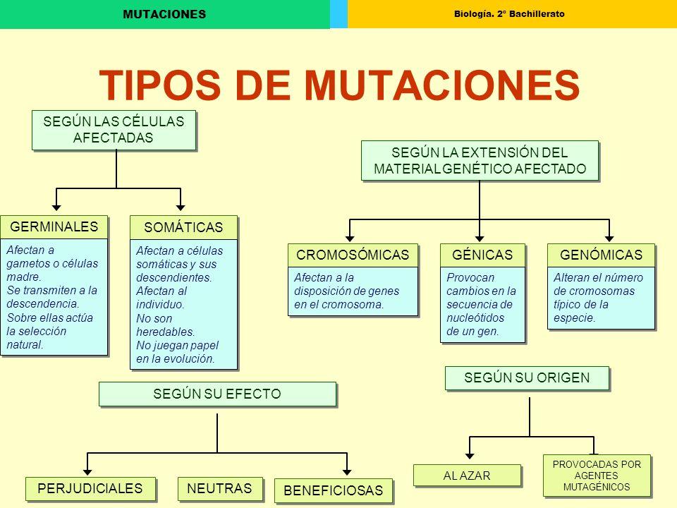 Biología. 2º Bachillerato MUTACIONES TIPOS DE MUTACIONES SEGÚN LAS CÉLULAS AFECTADAS SEGÚN LA EXTENSIÓN DEL MATERIAL GENÉTICO AFECTADO GERMINALES SOMÁ