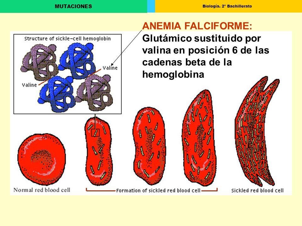 Biología. 2º Bachillerato MUTACIONES ANEMIA FALCIFORME: Glutámico sustituido por valina en posición 6 de las cadenas beta de la hemoglobina