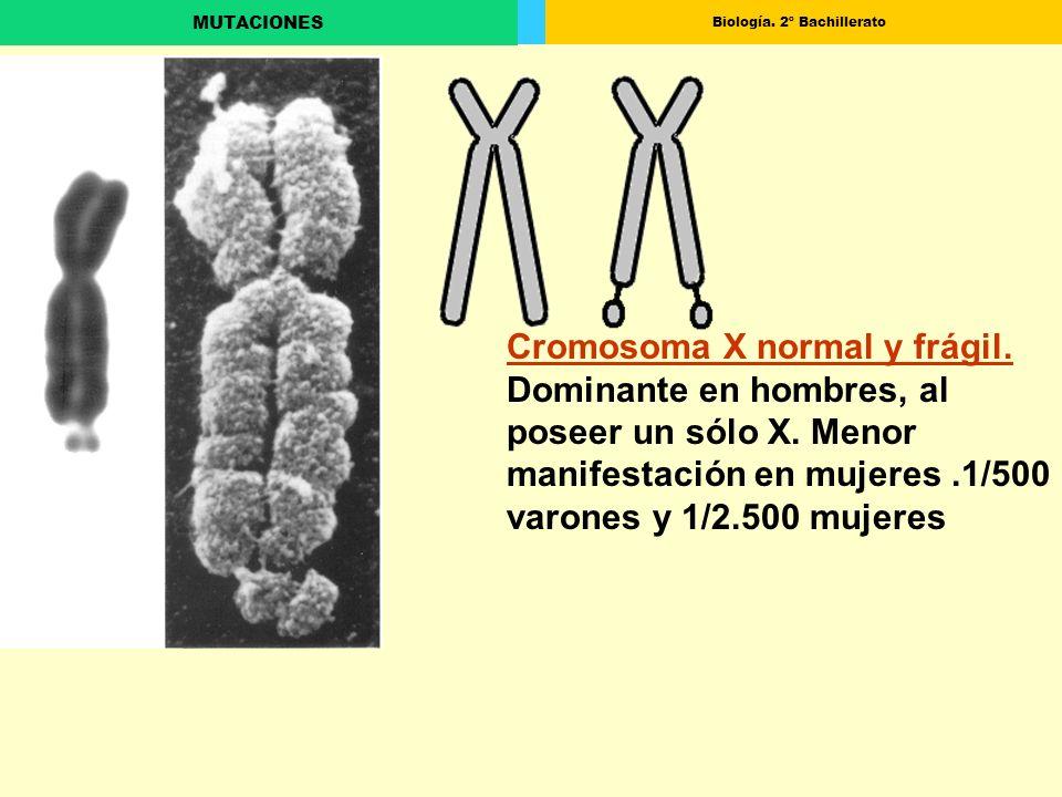 Biología. 2º Bachillerato MUTACIONES Cromosoma X normal y frágil. Dominante en hombres, al poseer un sólo X. Menor manifestación en mujeres.1/500 varo