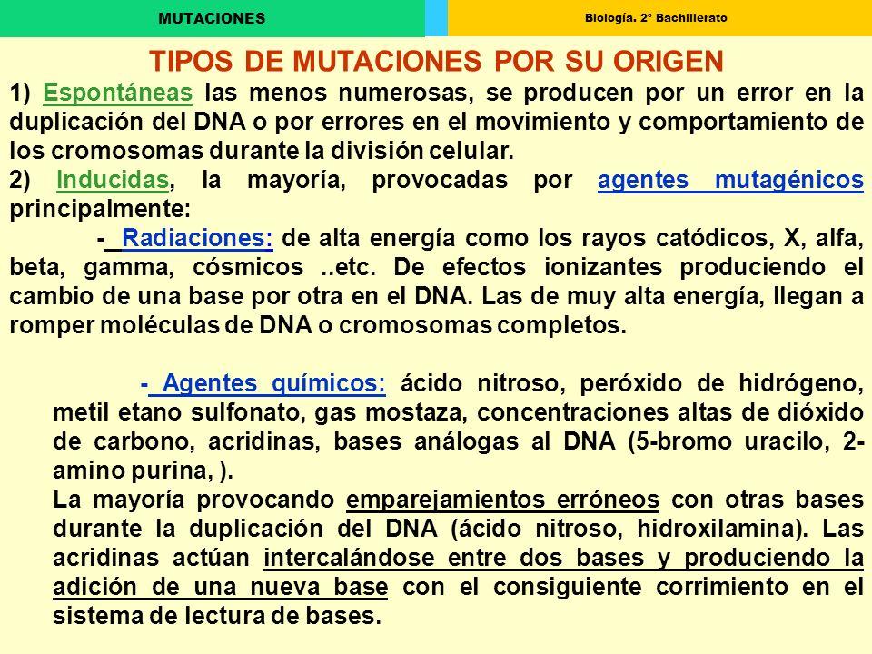 Biología. 2º Bachillerato MUTACIONES TIPOS DE MUTACIONES POR SU ORIGEN 1) Espontáneas las menos numerosas, se producen por un error en la duplicación