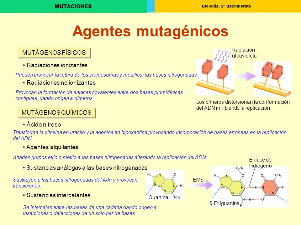 Biología. 2º Bachillerato MUTACIONES Radiación ultravioleta Los dímeros distorsionan la conformación del ADN inhibiendo la replicación Agentes mutagén