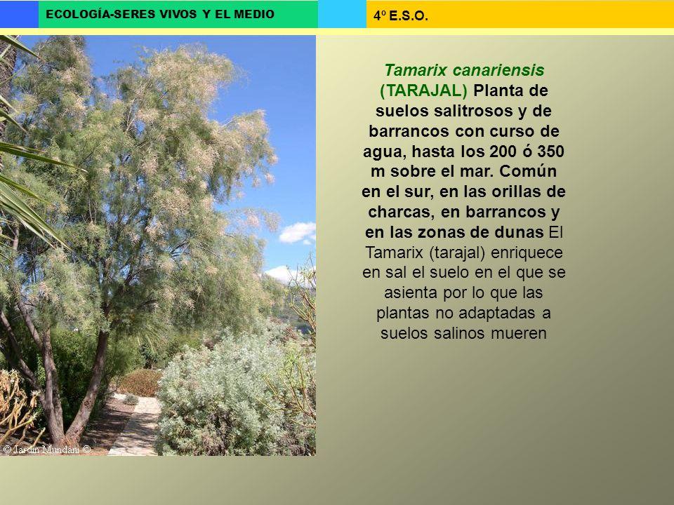 4º E.S.O. ECOLOGÍA-SERES VIVOS Y EL MEDIO Tamarix canariensis (TARAJAL) Planta de suelos salitrosos y de barrancos con curso de agua, hasta los 200 ó