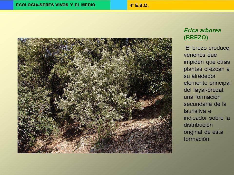 4º E.S.O. ECOLOGÍA-SERES VIVOS Y EL MEDIO Erica arborea (BREZO) El brezo produce venenos que impiden que otras plantas crezcan a su alrededor elemento