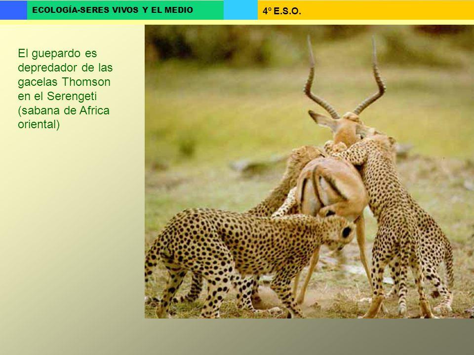 4º E.S.O. ECOLOGÍA-SERES VIVOS Y EL MEDIO El guepardo es depredador de las gacelas Thomson en el Serengeti (sabana de Africa oriental)