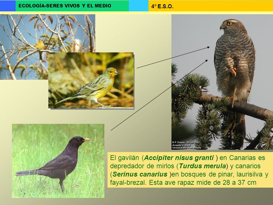 4º E.S.O. ECOLOGÍA-SERES VIVOS Y EL MEDIO El gavilán (Accipiter nisus granti ) en Canarias es depredador de mirlos (Turdus merula) y canarios (Serinus