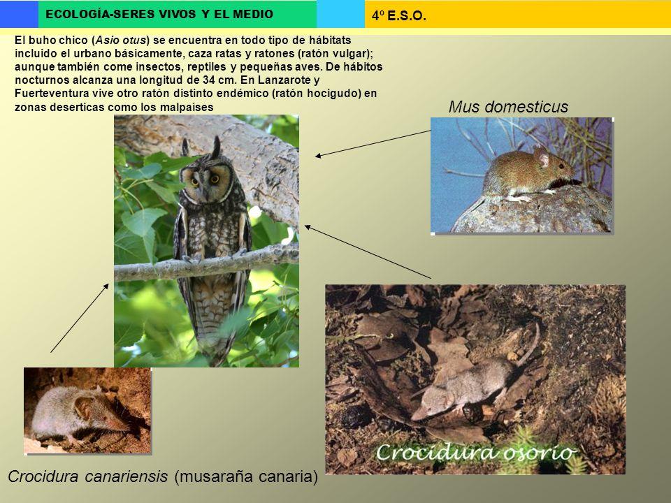4º E.S.O. ECOLOGÍA-SERES VIVOS Y EL MEDIO El buho chico (Asio otus) se encuentra en todo tipo de hábitats incluido el urbano básicamente, caza ratas y