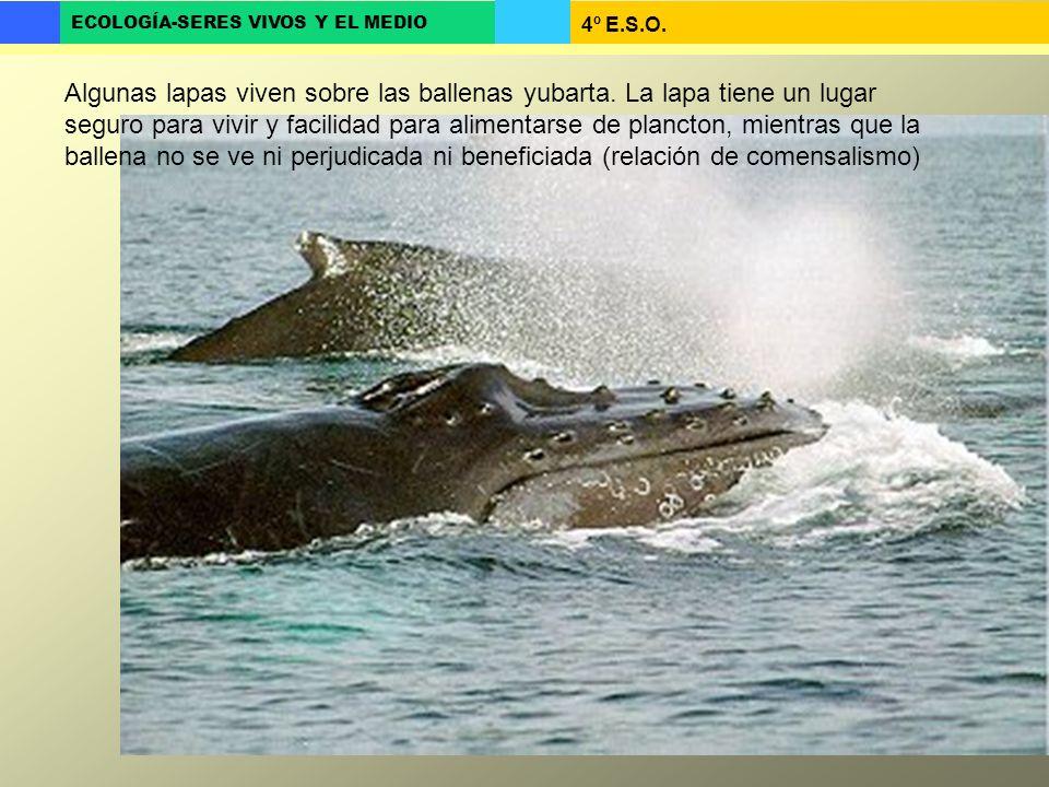 4º E.S.O. ECOLOGÍA-SERES VIVOS Y EL MEDIO Algunas lapas viven sobre las ballenas yubarta. La lapa tiene un lugar seguro para vivir y facilidad para al