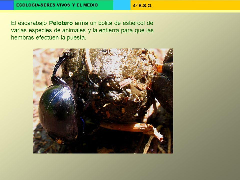 4º E.S.O. ECOLOGÍA-SERES VIVOS Y EL MEDIO El escarabajo Pelotero arma un bolita de estiercol de varias especies de animales y la entierra para que las