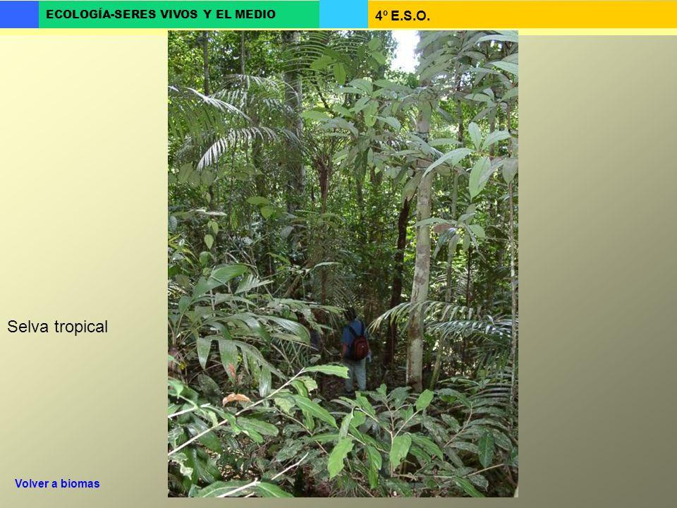 4º E.S.O. ECOLOGÍA-SERES VIVOS Y EL MEDIO Selva tropical Volver a biomas