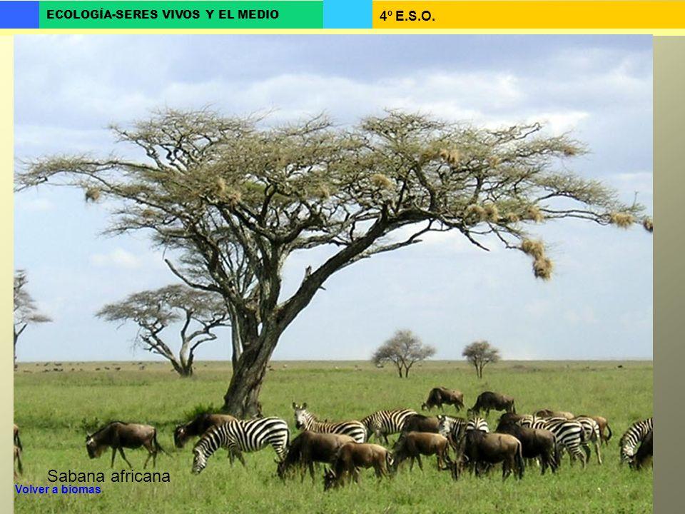 4º E.S.O. ECOLOGÍA-SERES VIVOS Y EL MEDIO Sabana africana Volver a biomas