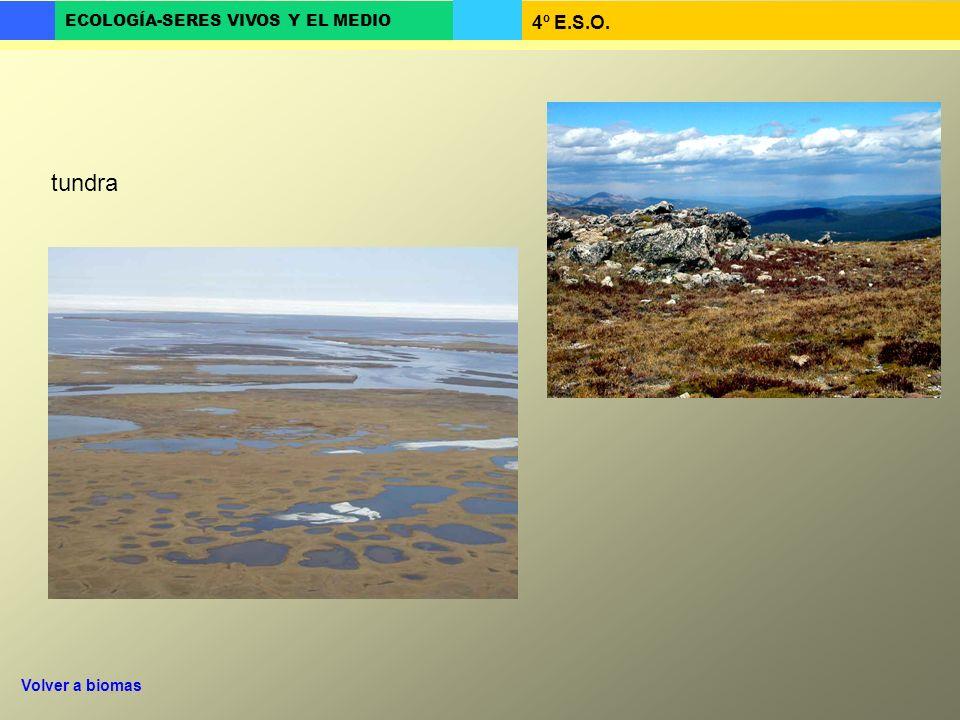 4º E.S.O. ECOLOGÍA-SERES VIVOS Y EL MEDIO tundra Volver a biomas