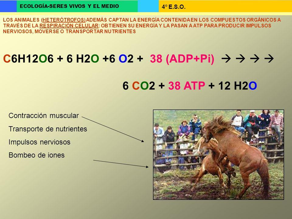 4º E.S.O. ECOLOGÍA-SERES VIVOS Y EL MEDIO C6H12O6 + 6 H2O +6 O2 + 38 (ADP+Pi) 6 CO2 + 38 ATP + 12 H2O LOS ANIMALES (HETERÓTROFOS) ADEMÁS CAPTAN LA ENE