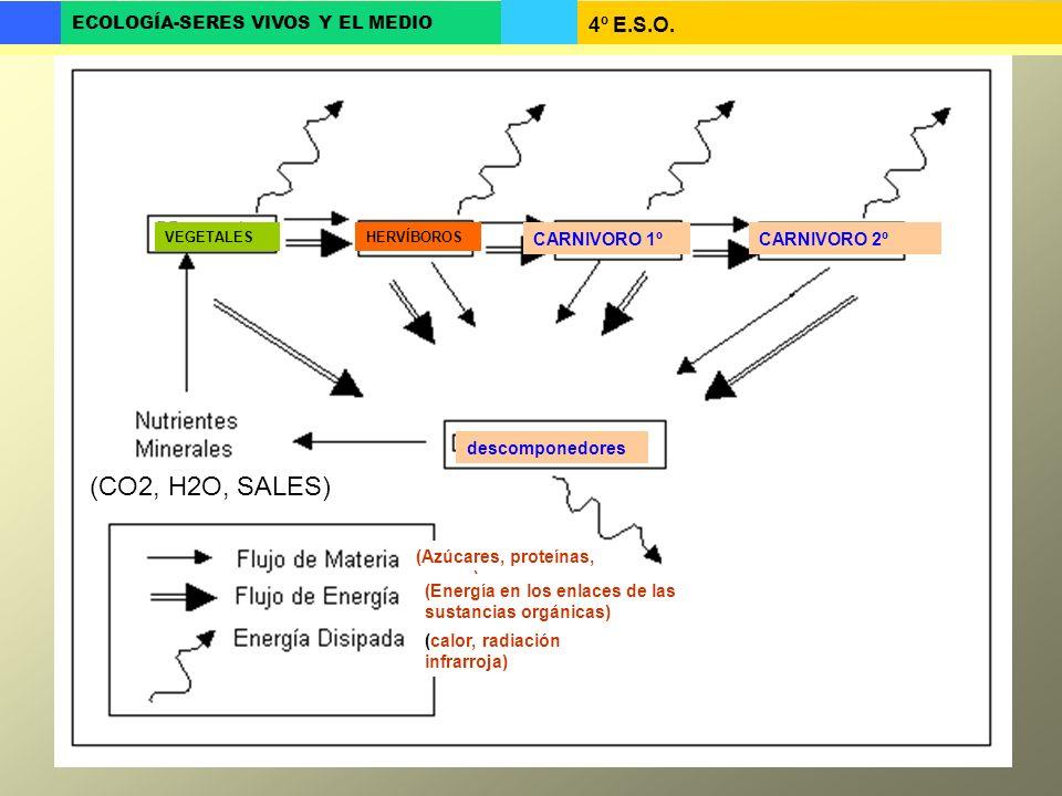 4º E.S.O. ECOLOGÍA-SERES VIVOS Y EL MEDIO descomponedores HERVÍBOROSVEGETALES CARNIVORO 1ºCARNIVORO 2º (CO2, H2O, SALES) (Azúcares, proteínas, grasas)