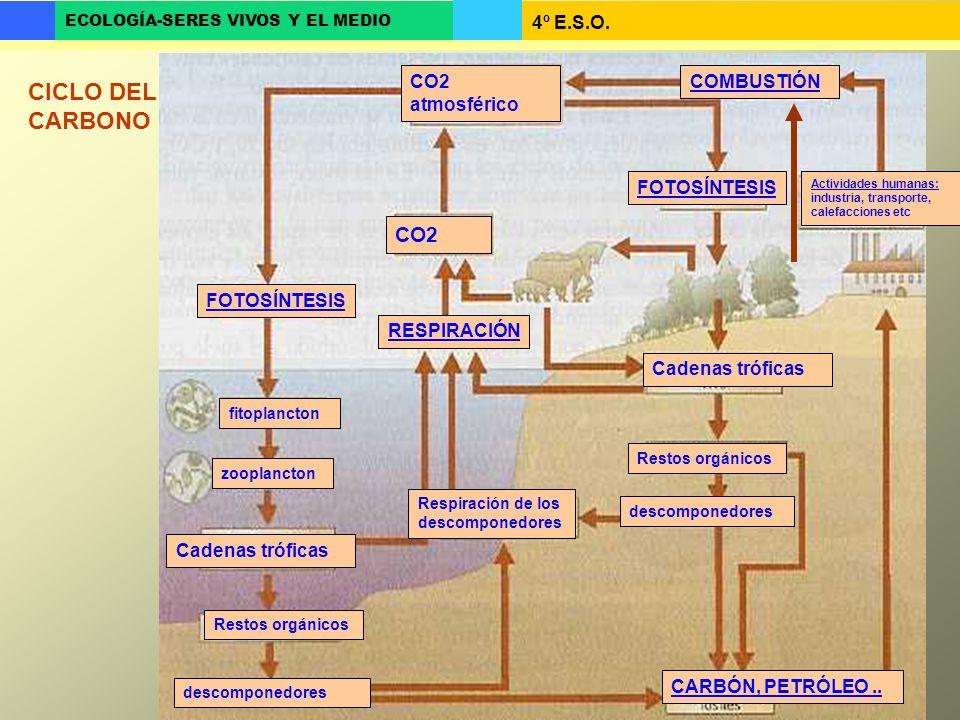 4º E.S.O. ECOLOGÍA-SERES VIVOS Y EL MEDIO CO2 atmosférico FOTOSÍNTESIS fitoplancton zooplancton Cadenas tróficas Restos orgánicos descomponedores CO2